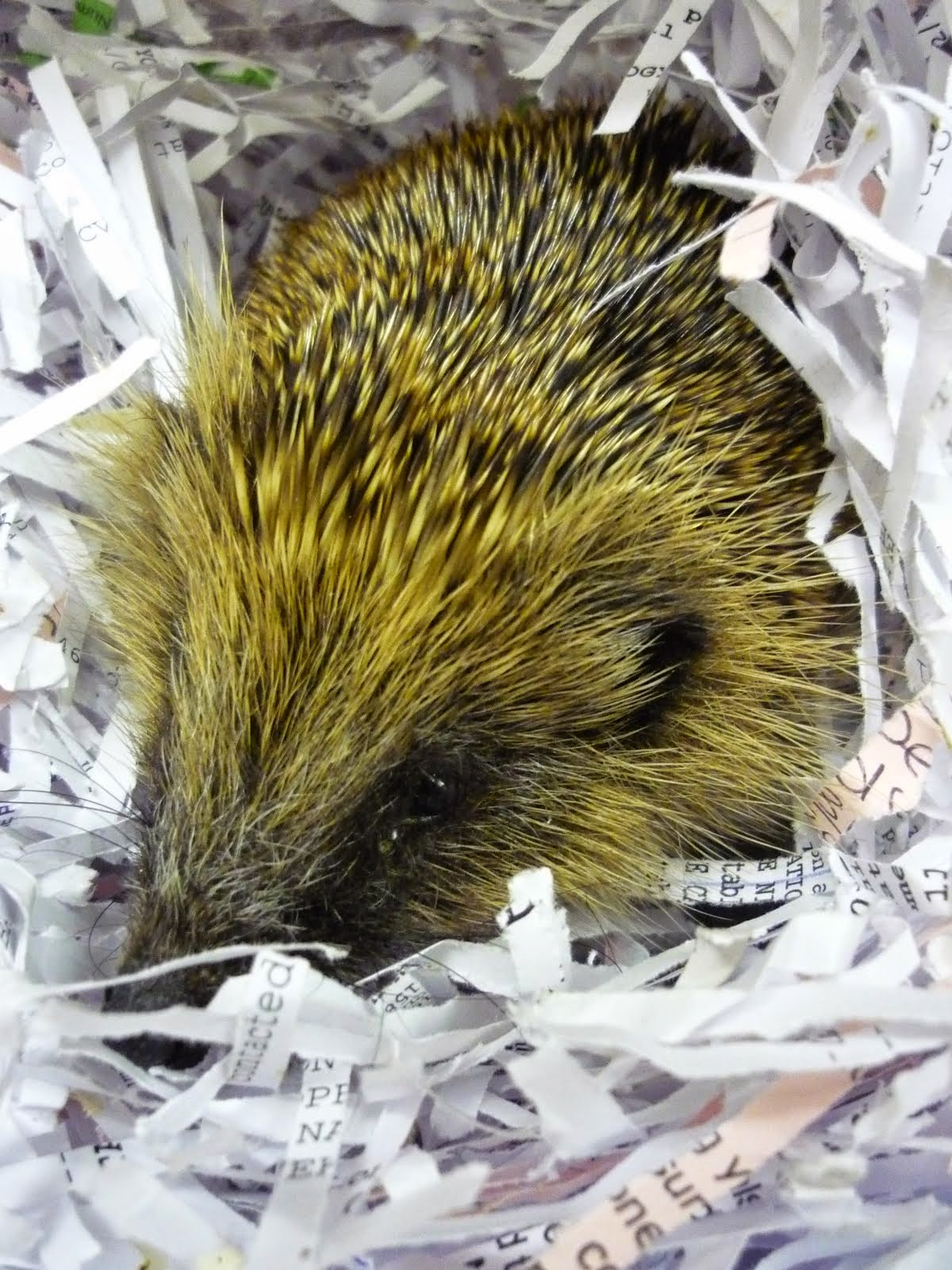 Hedgehogs in April
