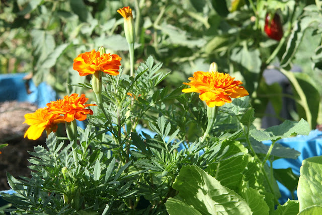 Marigolds can be used as natural pest control by organic gardeners. I love how beautiful they are.
