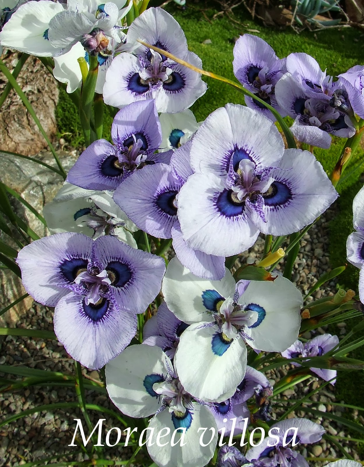 The peacock iris moraea villosa heritage irises insanely beautiful commonly known as the peacock iris moraea is a genus of plants in the family iridaceae yip thats the iris family this is the izmirmasajfo