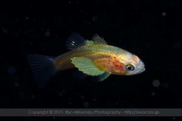 テンジクダイ科の稚魚