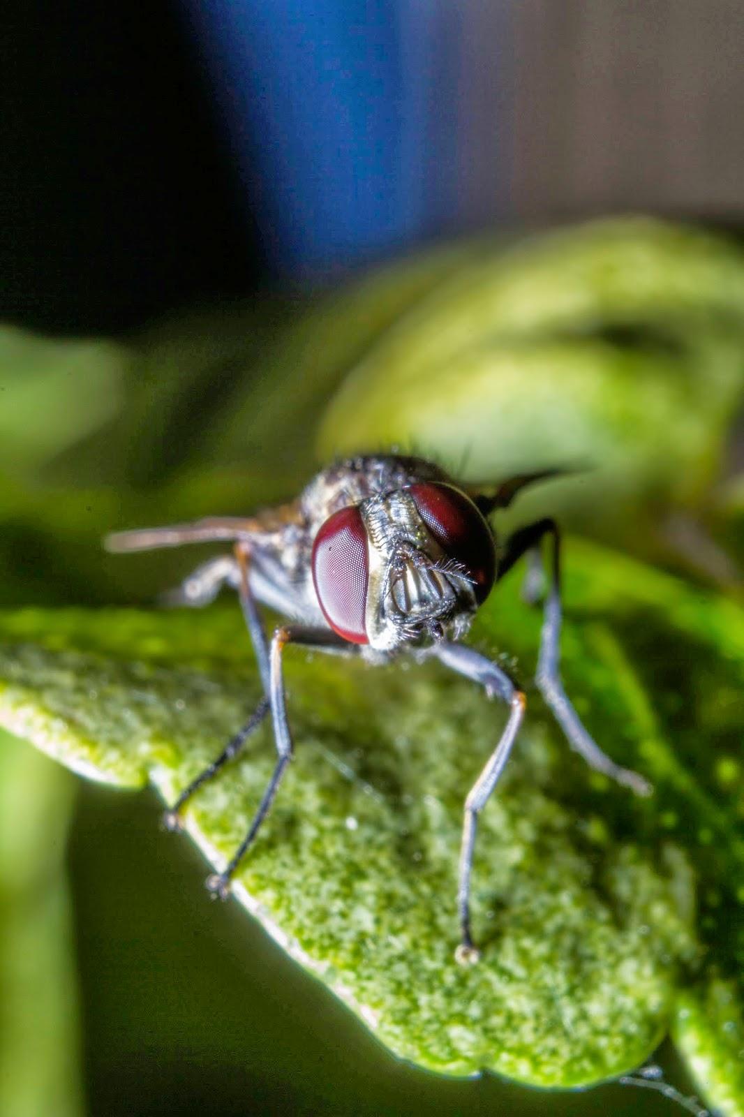 Fotos de moscas e insectos en fotosmacro.blogspot.com