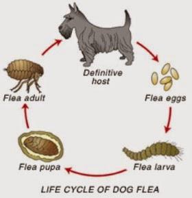 Todo sobre las pulgas