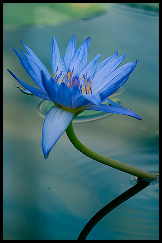 /blue-lotus photo
