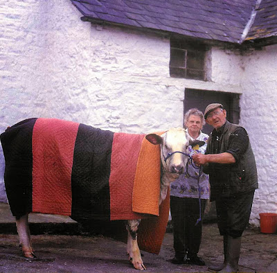 Cow keeping warm under Strippy Welsh Quilt
