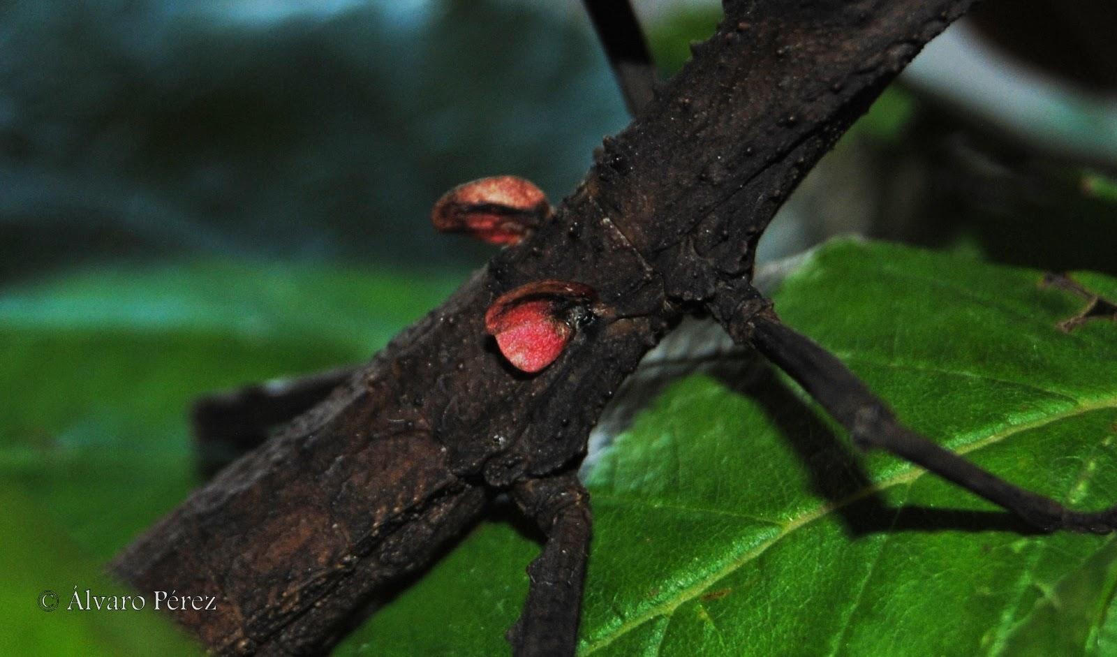 Hypocyrthus scyrthus