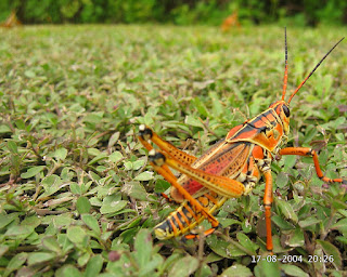Grasshopper in Florida, USA