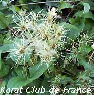 Clématite des haies et Clématite des jardins ou Vigne Blanche ou Herbe aux Gueux
