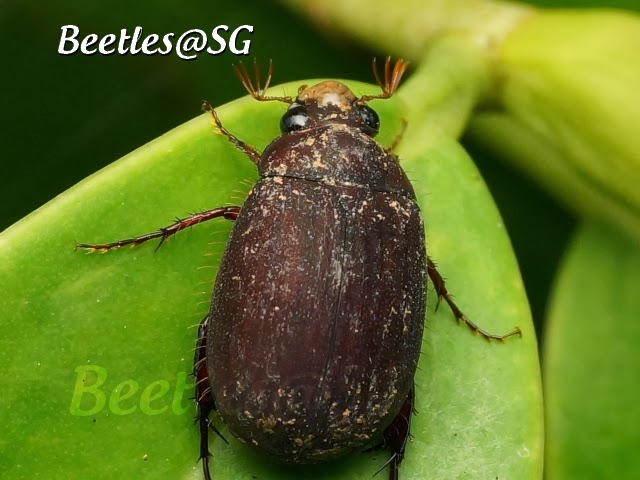 how to get rid of chafer beetles