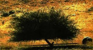 Pohon Ghorgod