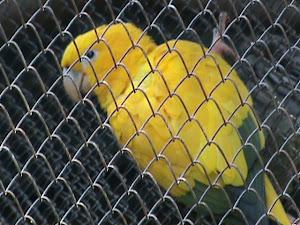 Arara verde/amarela