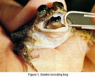 Strange Male Frog that Broods 19 Babies in its Mouth Seen On www.coolpicturegallery.us