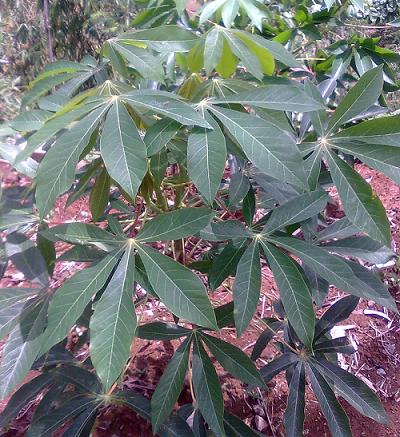 manfaat khasiat daun kemangi untuk kecantikan dan manfaat daun kemangi