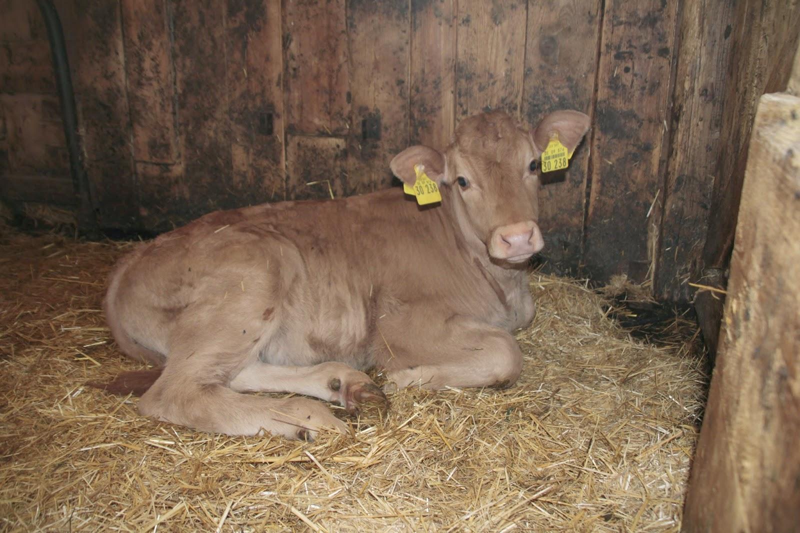 im Frühjahr auf dem kleinen Bauernhof geborener Limpurger Rind