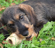A new wirehaired dachshund puppy for Genti and Beth SheroAchilles of .