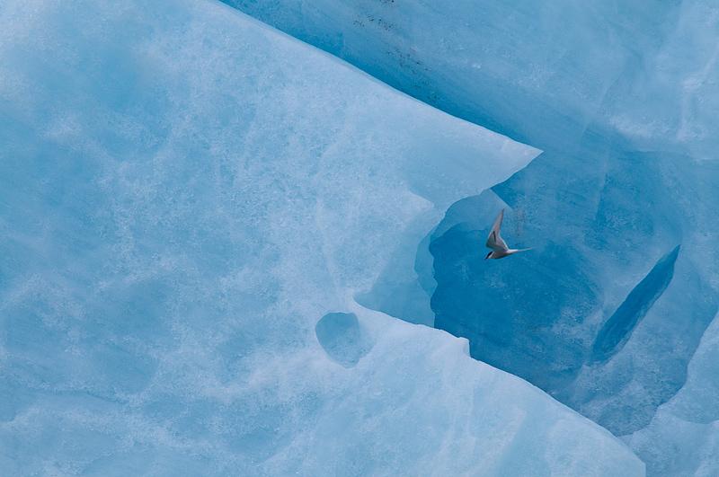 Arctic tern, randtiir