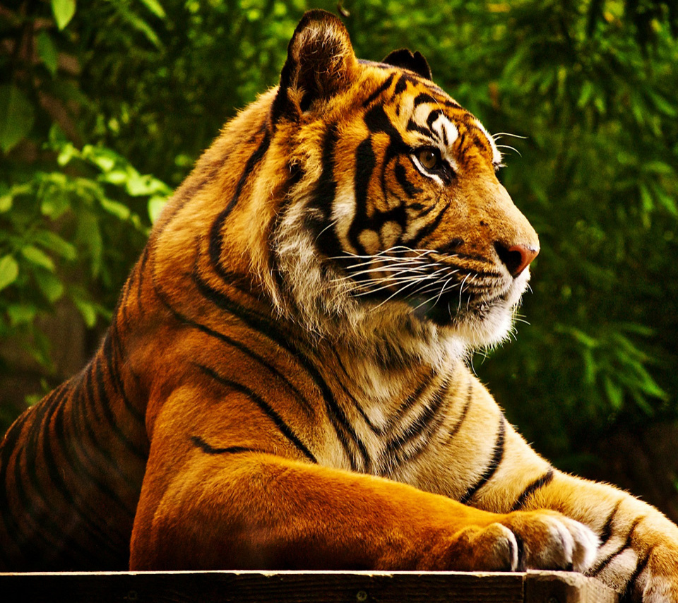 hd tiger wallpapers for tablet pcs wallpapers