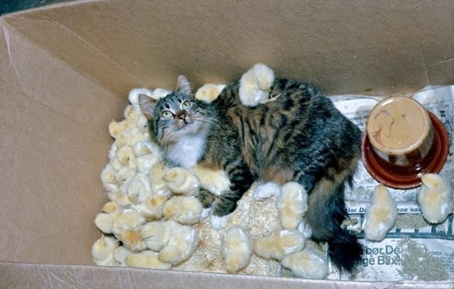 funny animal pictures, a cat and chicks