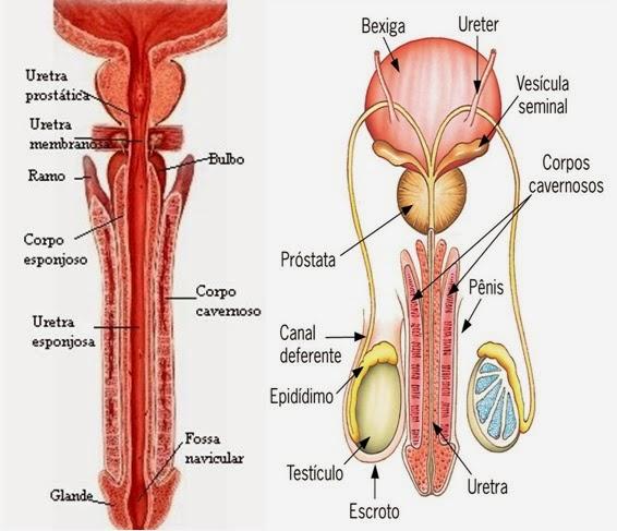 Anatomia Humana: Sistema Urinário e Genital Masculino/Feminino ...