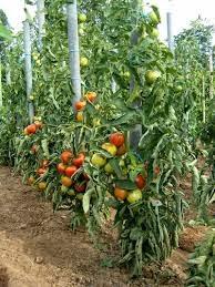 Le jardin de pestoune la tomate - Comment planter des asperges ...