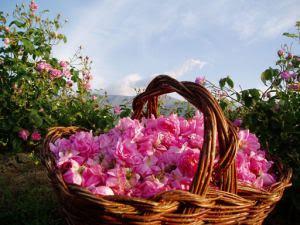 Merayakan Mawar Emas di Bulgaria