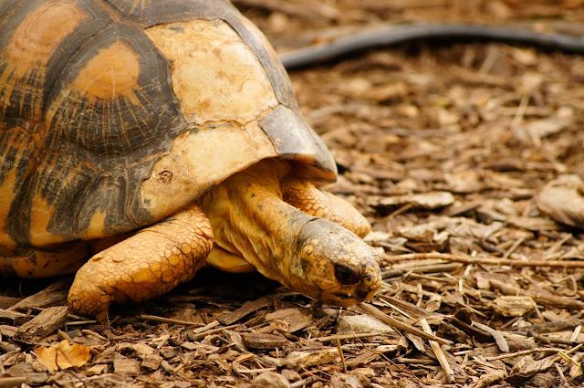 slow moving turtle public domain picture