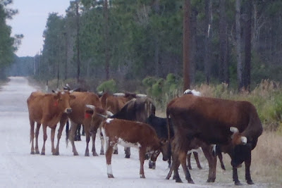 cows at three lakes wildlife management in florida near kenansville by http://DearMissMermaid.com copyright by Dear Miss Mermaid