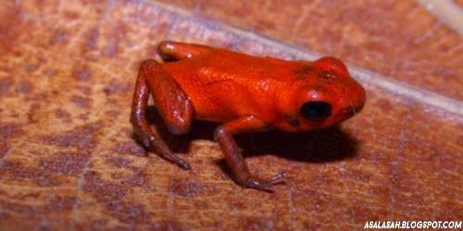 http://asalasah.blogspot.com/2014/10/ilmuwan-temukan-spesies-katak-beracun.html