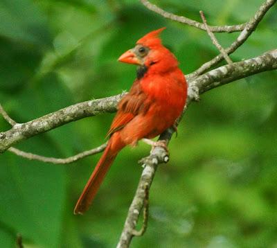 cardinal with bare face
