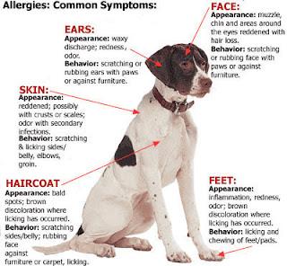 Các vị trí thường biểu hiện các triệu chúng  của dị ứng trên chó