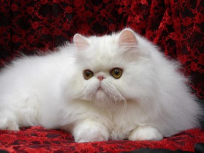 gambar kucing putih lucu
