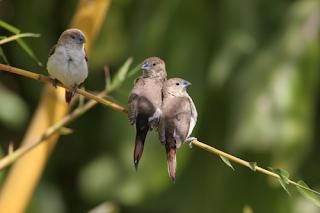 African Silverbill Finch