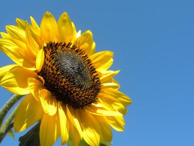 photo of sunflower by Nancy Zavada