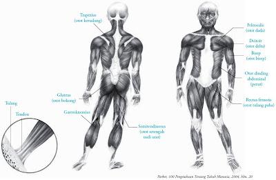 macam jenis sistem otot manusia
