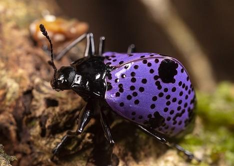 Kumbang ungu