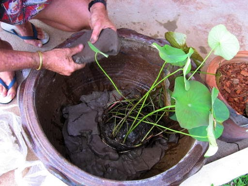 How to grow water lotus for Lotus plant for sale