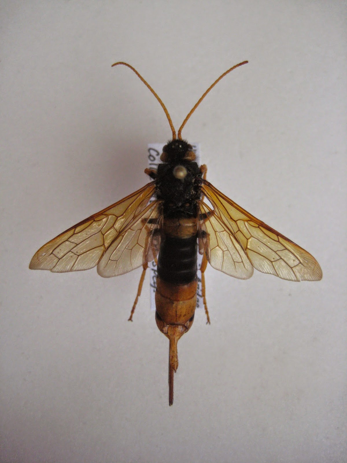U N Insects Insects of Britain: Gi...