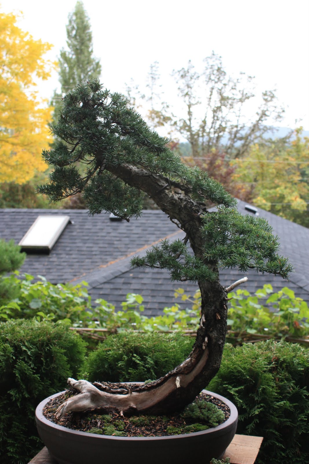 Woodland Bonsai Mountain Hemlock 2 Progress