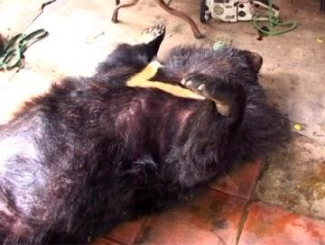 Gia Lai: Tiêu hủy một cá thể gấu