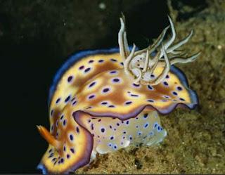 Ikan Hias Nudibranch