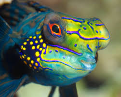 MandarinFish Ikan Paling Eksotis dan Berwarna yang Pernah Ada-12