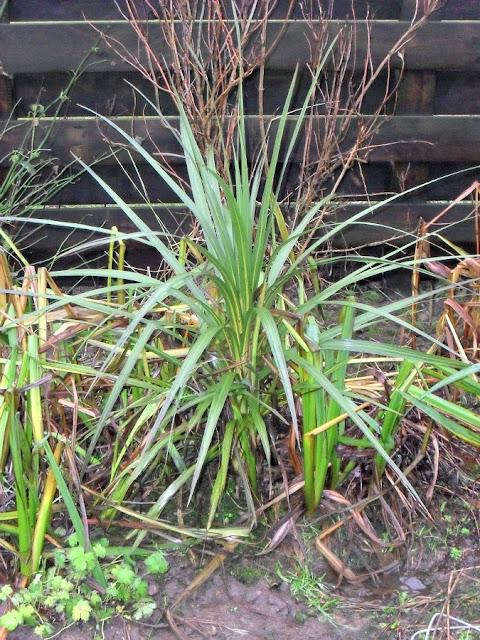 Cordyline, garden, garden plant