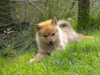 Finnish Spitz Puppy