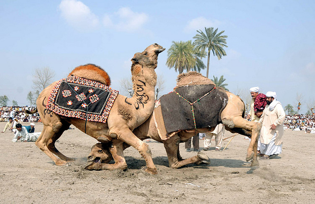 mammalia,animalia,cattle,camel,gif camel,gif ass,wilds,riding,dangerso,funny camel,camel fight