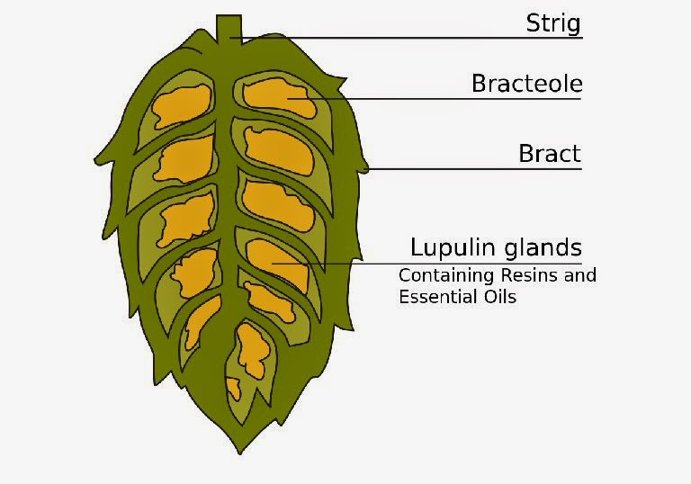 cross section of hops image