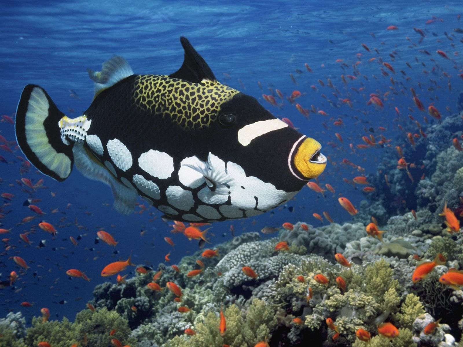 The Beauty Clown Triggerfish