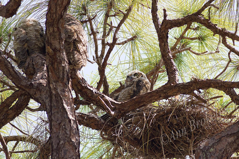 Ann Brokelman Photography Great Horned Owl Nest With