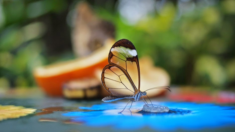 50 Powerful Photos Capture Extraordinary Moments In The Wild - The Delicate Glasswinged Butterfly.