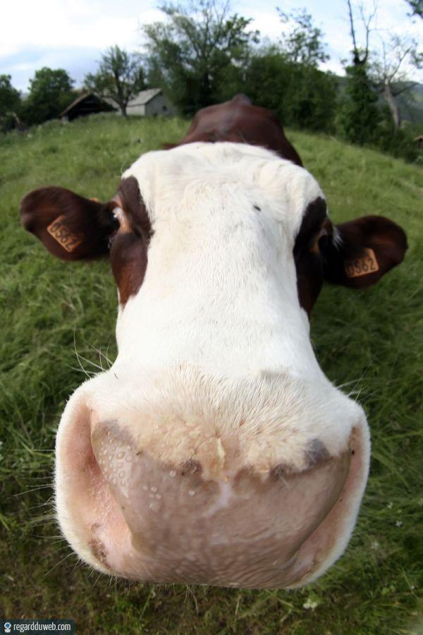 Images dr les et tranges animal vache v59 des milliers de photos dr les et insolites - Photo de vache drole ...