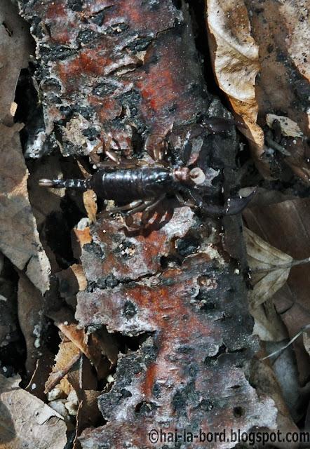 scorpion baile herculane