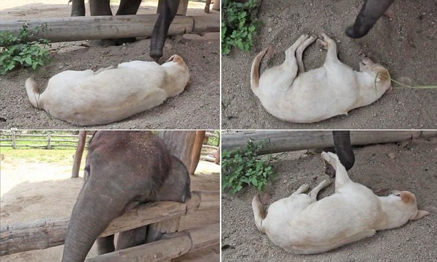 Baby Elephant Trying Desperately To Wake Up Sleeping Dog